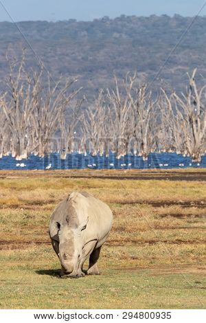 White rhino grazing at the edge of Lake Nakura. The alkaline waters are full of dead trees that were engulfed when the water level increased.