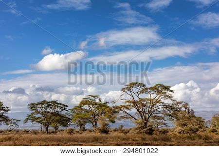 A landscape of fever trees, Vachellia xanthophloea, in Lake Nakuru National Park. These trees grow up to 25 meters tall. Summer landscape with blue sky and clouds.