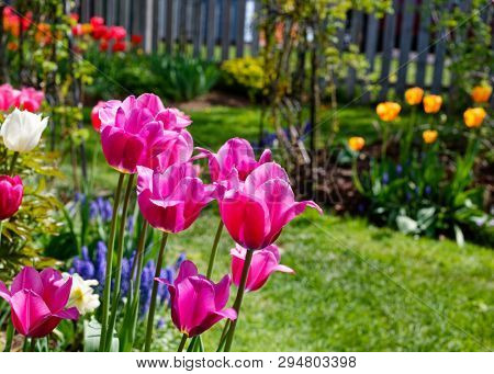Tulips flowering in the back yard garden.