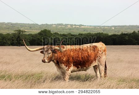 Old Longhorn Steer Grazing In A Pasture Near Fredericksburg, Texas Located In The Texas Hill Country