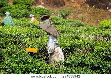 Peaking Tea In Tea Plantation