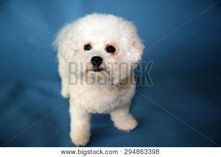 Bichon Frise dog. A small female bichon frise dog portrait on a blue seamless background. Cute Small White Dog.