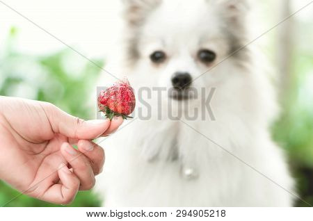 Closeup Cute Pomeranian Dog Looking Red Strawberry In Hand With Happy Moment, Selective Focus