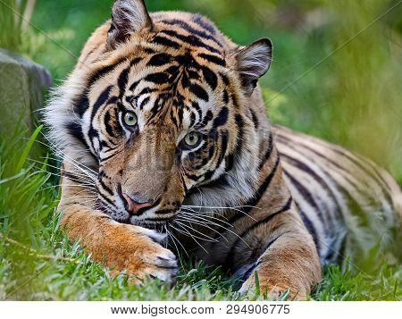 The Amur Or Ussuri Tiger, Or The Far Eastern Tiger (lat. Panthera Tigris Altaica) Is A Subspecies Of