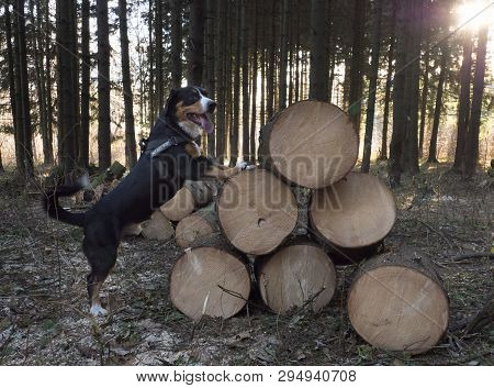 Entlebucher Sennenhund Or Entlebucher Mountain Dog In The Spruce Forest