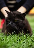Close up portrait of tomcat (Chantilly Tiffany)  laying on the grass on sunset. Girl strokes a dark black cat with big green eyes resting in garden and posing to camera on sunny day. poster