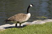 canadian goose standing by a lake closeup side view poster