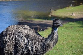 Big Black Ostrich Close-up On Green Grass And River Background