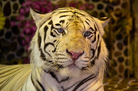White Bengal Tiger In The Zoo. Pattaya, Thailand