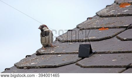 Sparrow With An Insect In It's Beak, Standing On A Roof