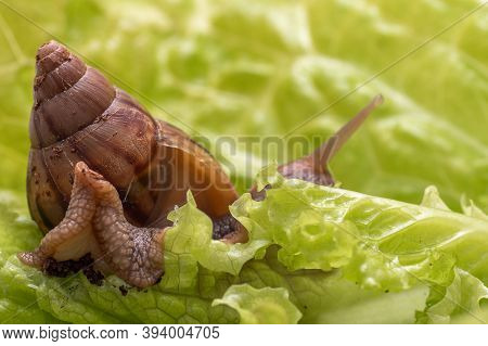 The Small Achatina Snail Eats A Leaf Of Lettuce Or Grass, Snail In Nature, Close-up, Selective Focus