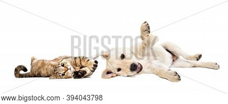 Playful Cat Scottish Straight And Labrador Puppy Lying Together Isolated On White Background