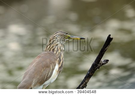Javan Pond Heron (ardeola Speciosa)