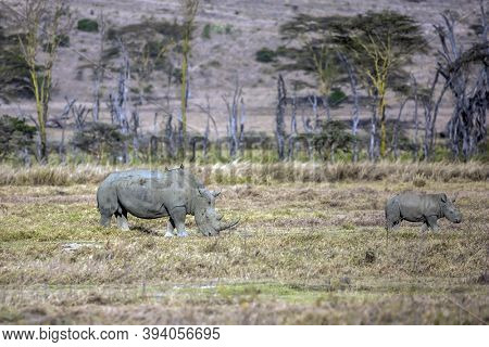 The famous African Big Five. African savannah on the shores of Lake Nakuru. Pair of rhinos grazing in the grass. Great Rift Valley