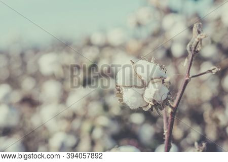 Cotton crop landscape with ripe cotton bolls on branches in fields