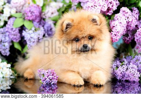 red pomeranian spitz on a blooming lilac fog