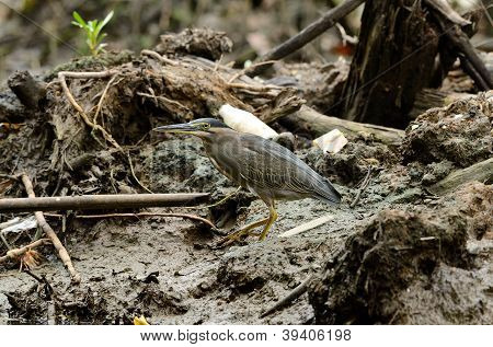 Little Heron (butorides Striata)
