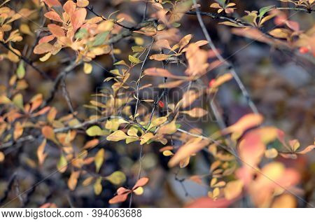 Autumn Natural Blur Abstract Boke Background With Selective Focus, Sunlight On Branches Of Dogwood