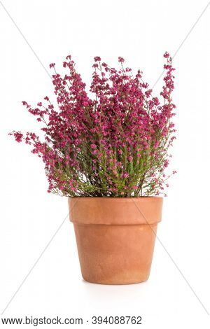 Blooming purple broom heather plant erica gracilis  in terracotta flower pot isolated on white background