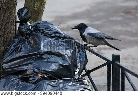 A Crow Sitting On A Fence Pecks At A Garbage Bag On A City Street