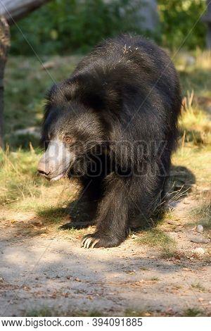 The Sloth Bear (melursus Ursinus), Also Known As The Labiated Bear