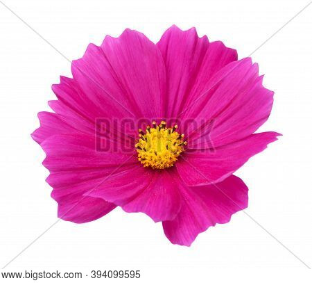 Pink Cosmos Flower (cosmos Bipinnatus) Isolated Over White Background. View From Above