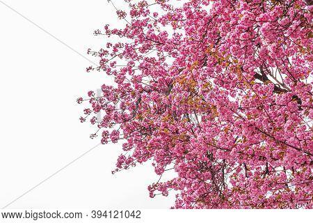 Blooming Sakura On The Tree. Japanese Cherry Blossom In Spring.