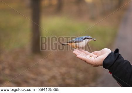 A Bird Sits In The Palm Of A Man, A Nuthatch Flew In For Seeds, Taking Care Of Wild Birds In Autumn