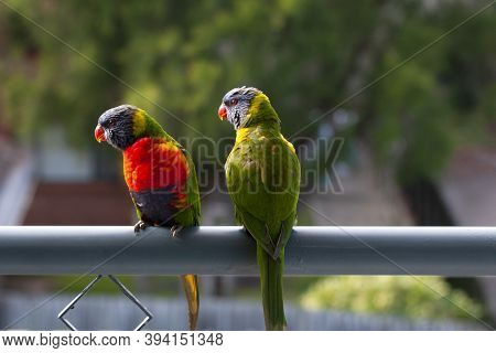 A Pair Of Multicoloured Vibrant Rainbow Lorikeets In Bright Sunshine On The Balcony Handrail Of A Fi