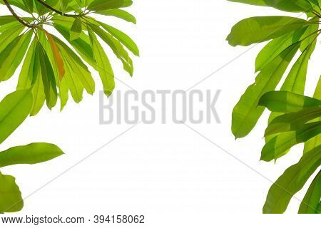 Tropical Tree Leaves With Branches And Warm Light On White Isolated Background For Green Foliage Bac