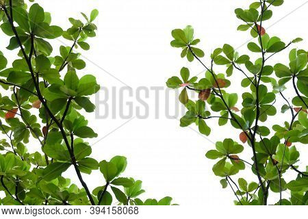 Young Tropical Indian Almond Leaves With Branches On White Isolated For Green Foliage Backdrop