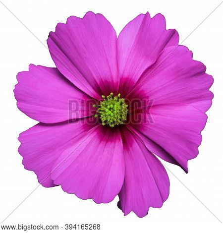 Lilac Flower Of Cosmea Bipinnatus, Cosmos Bipinnatus, Isolated On A White Background
