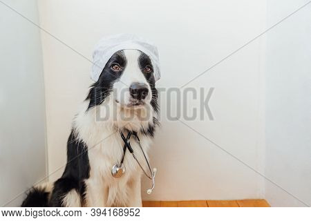 Puppy Dog Border Collie With Stethoscope Dressed In Doctor Costume On White Wall Background Indoor.