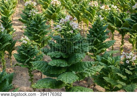 Close Up Of Blossoming Tobacco Plants In Field. Tobacco Big Leaf Crops Growing In Tobacco Plantation