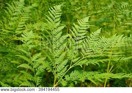 Go Green. Green Fern Tree Growing In Summer. Fern With Green Leaves On Natural Background. Green Is