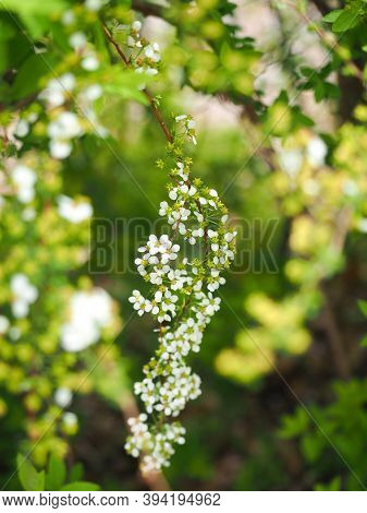 Little White Lobularia Maritima Flowers In A Garden Under The Warm Spring Sun.close-up Image Of Tiny
