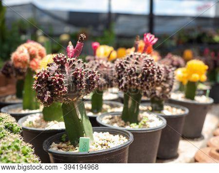 Cactus Breeding. Beautiful Purple Moon Cactus With Magenta, Pink Flowers And Bud. Macro View. Gymnoc