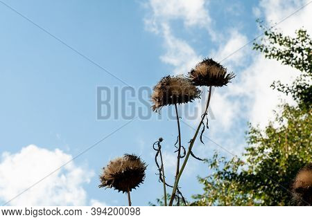 The Dry Brown Flower Heads Of A Wilted Artichoke On A Sunny Day With Cloudy Blue Sky