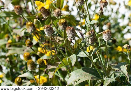 Flower Heads Of Rudbeckia Nitida With Lost Petals In Autumn