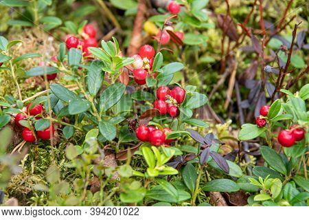 Bright Red Berries Of Lingonberry On Bushes With Green Leaves Grow On The Ground In The Forest, Clos