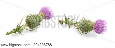 Set Of Flowers Cirsium Vulgare (spear Thistle, Bull Thistle Or Common Thistle) Isolated On White Bac