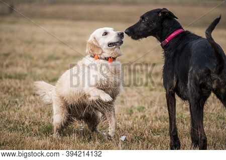 Two Dogs Playing In The Autumn Meadow