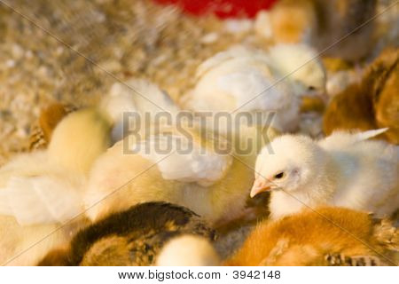 Soft, Fuzzy, Yellow, Baby Chicks