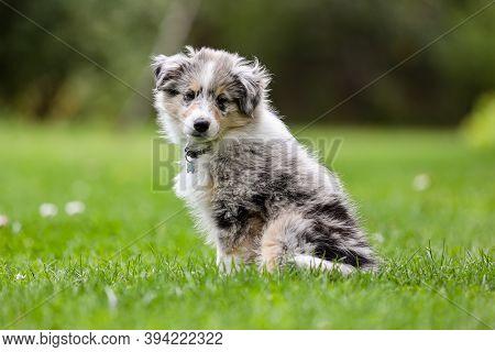 Small Beautiful Blue Merle Shetland Sheepdog Sheltie Puppy Sitting On Garden Grass. Photo Taken On A