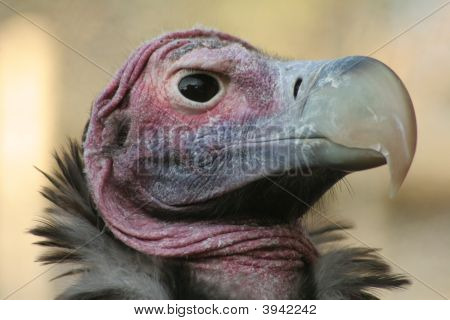 Lappit-Faced Vulture