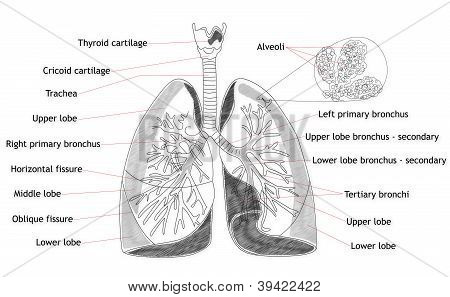 Human Lung Structure Anatomy Medical Concept / poster