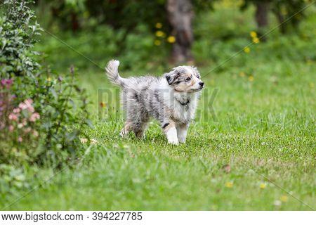 Beautiful Small Shetland Sheepdog Sheltie Puppy Walking On Garden Grass. Photo Taken On A Warm Cloud