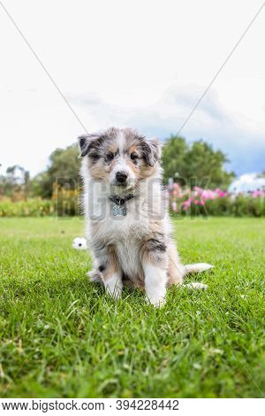 Small Shetland Sheepdog Puppy Sitting On Grass. Photo Taken In Garden.