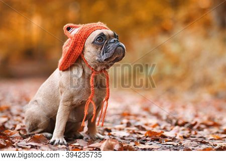 Cute French Bulldog Dog Wearing A Knitted Costume Hat With Fox Ears Sitting In Front Of Blurry Orang