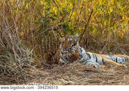Two Wild Tiger Cubs Or Sibling Closeup With Natural Bonding And Togetherness Behavior At Dhikala Of